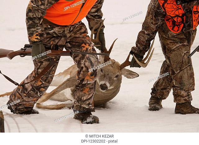 Whitetail Deer Hunters Drag Deer Out Of Field