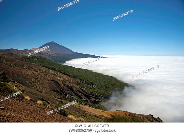 Canary pine (Pinus canariensis), landscape in the mountains of Tenerife with Teide in the background over the clouds, Canary Islands, Tenerife