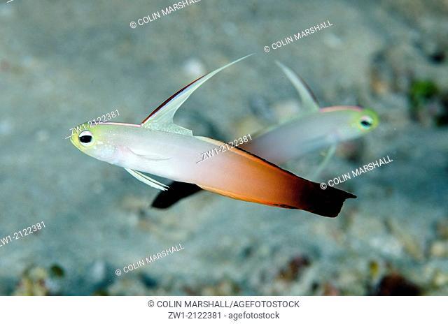 Fire Dartfish (Nemateleotris magnifica) at Tanjung Tutudiruru dive site off Wetar Island near Alor in eastern Indonesia
