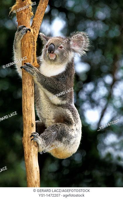 Koala, phascolarctos cinereus, Adult Climbing Branch, Australia