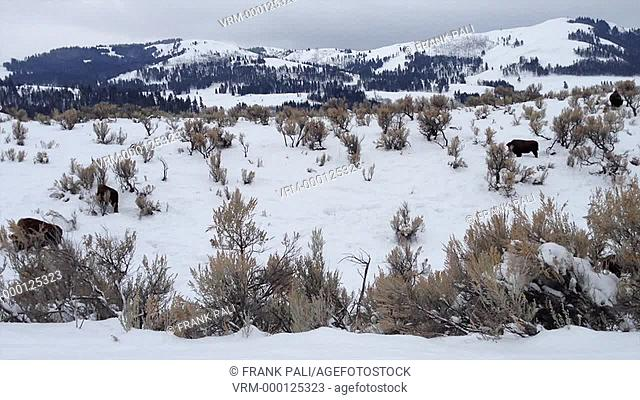 Winter life of the Bsion in Yellowstones Lamar Valley
