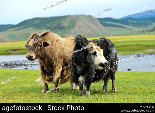 Zwei Yaks (Bos mutus) mit langem zottigen Fell, Orchon-Tal, Khangai Nuruu Nationalpark, Oevoerkhangai Aimag, Mongolei / Two Yaks (Bos mutus) with long shaggy...