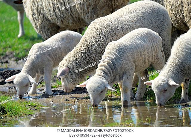 Herd of sheep drinking water in spring time