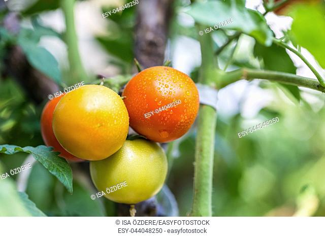 Big organic ripe red,green and yellow vine tomatoes fruits hanging on branch with water droplets in garden