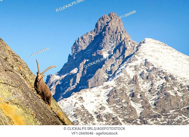 A big ibex on a steep wall, with the peak of Gran Nomenon in the backgrond. (Valsavarenche, Gran Paradiso National Park, Aosta Valley, Italy)