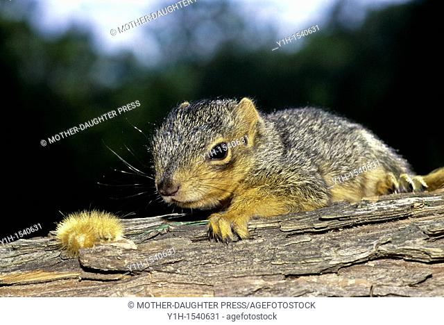 Baby Eastern Fox squirrel, Sciurus niger, opens his eyes from his nap on a branch and sees a yellow Woolly Bear caterpillar at the end of his nose