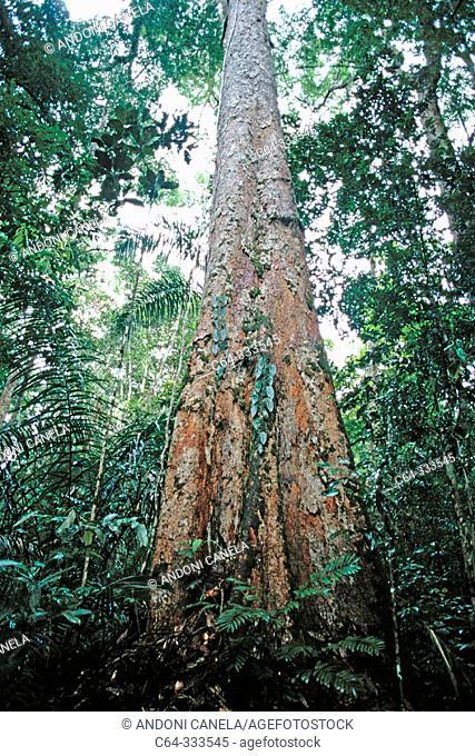 Tree at rainforest. Amazonia. Brasil