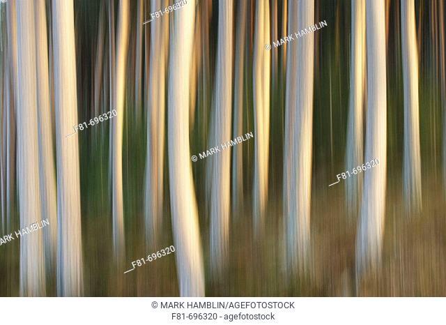 Pine forest impression  Scotland  November 2005