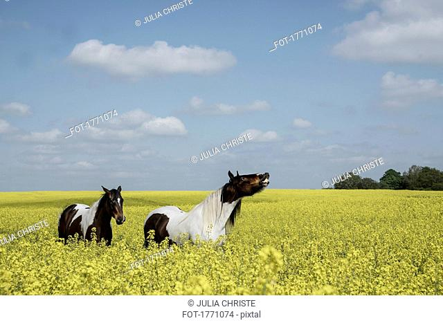 Brown and white horses in sunny, idyllic canola field