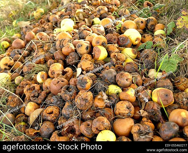 rotten apples in a meadow in autumn in Germany