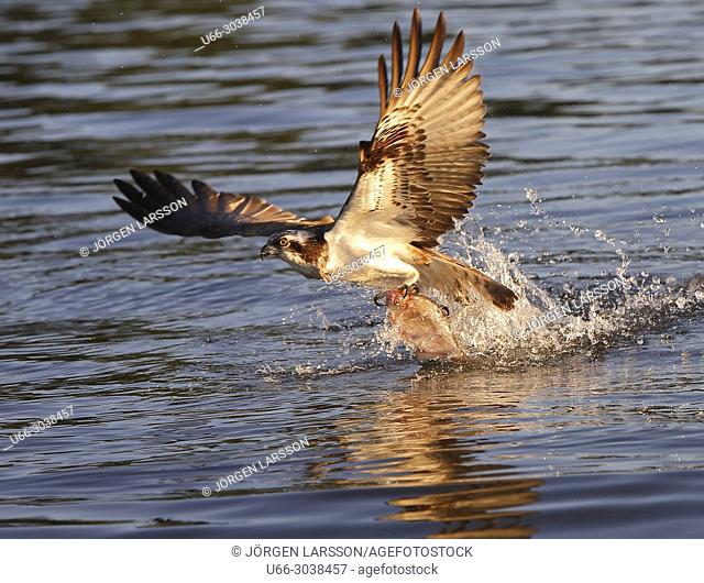 Osprey fishing, Lake Malaren, Sodermanland, Sweden