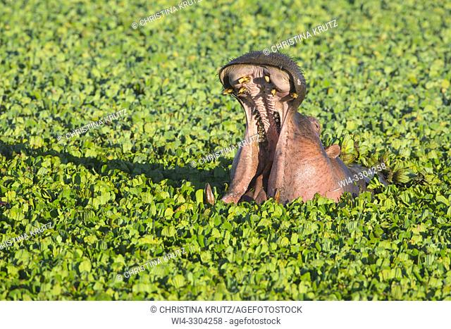 Wild hippopotamus (Hippopotamus amphibus) displaying dominance in a pond covered with water lettuce, Masai Mara National Reserve, Kenya, Africa