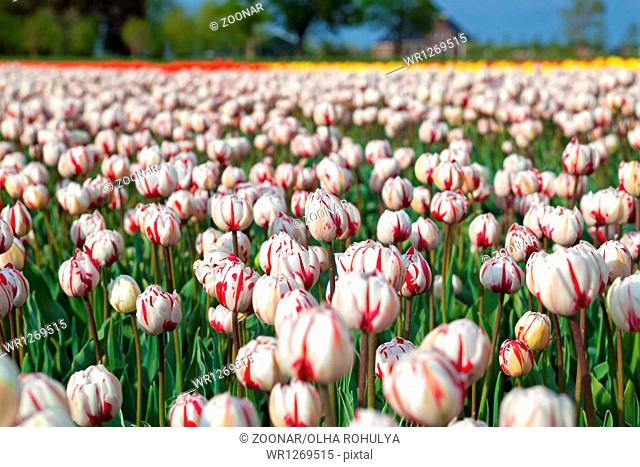 red and white tulips in spring time