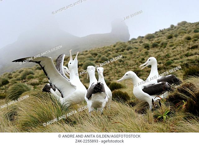 Group of Royal Albatrosses (Diomedea epomophora) in courtship, Campbell island, New Zealand