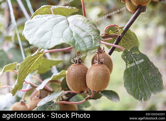 Orchard with kiwi in Marche, Central Italy