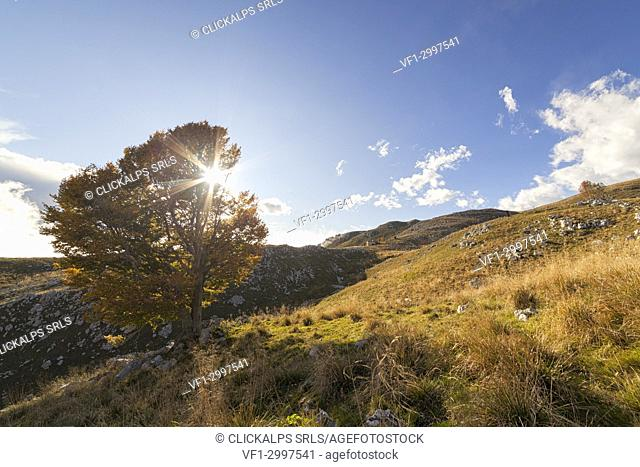 A lonely beech at Pizzoc Mount, Venetian Prealps, Fregona, Treviso, Italy