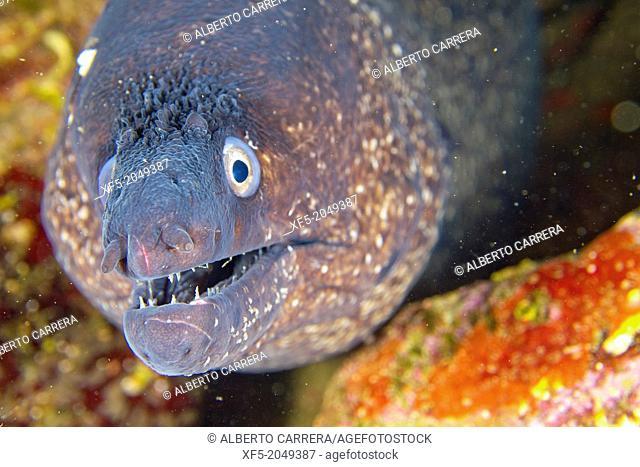 Moray eel, Cabo Cope-Puntas del Calnegre Natural Park, Mediterranean Sea, Region de Murcia, Murcia, Spain, Europe