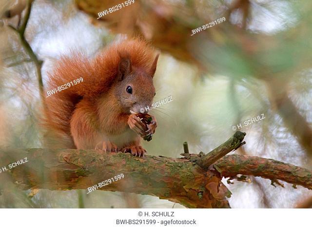 European red squirrel, Eurasian red squirrel (Sciurus vulgaris), sitting on a pine feeding on a cone, Germany, Saxony, Oberlausitz