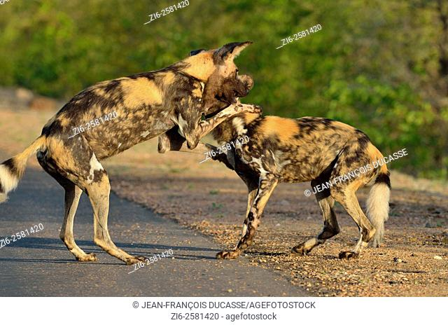 African wild dogs (Lycaon pictus), playing at the edge of the road, Kruger National Park, South Africa, Africa