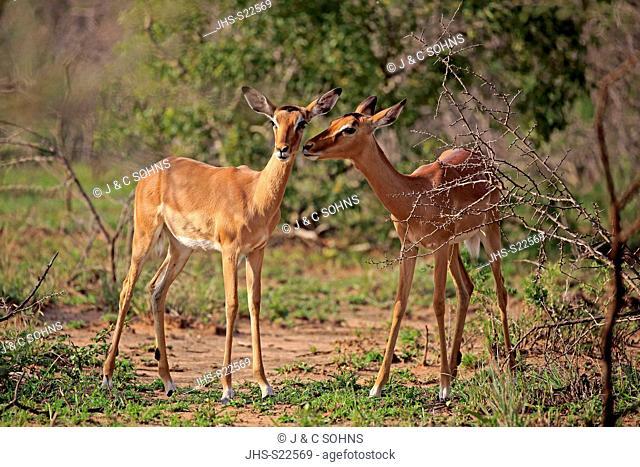 Impala, (Aepyceros melampus), two adult females alert, social behaviour, Hluhluwe Umfolozi Nationalpark, Hluhluwe iMfolozi Nationalpark, KwaZulu Natal