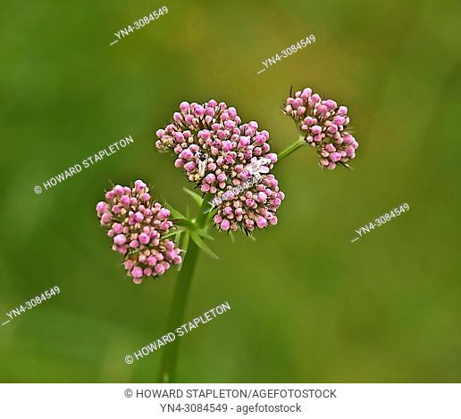 Pink buds of Viburnum tinus flowers. Photographed at Eidfjord, Norway