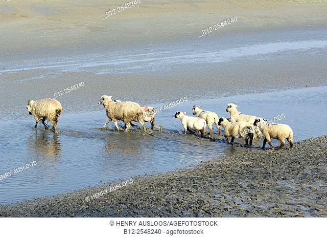 Sheep (Ovis aries) from salty meadows, Bay de Somme, France