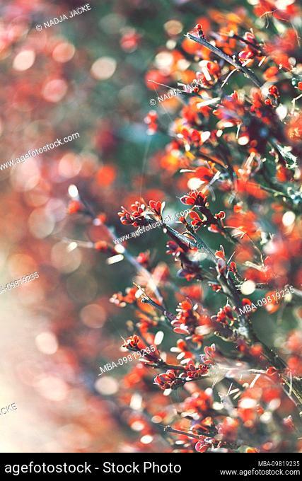 Nature details, leaf buds on hedge