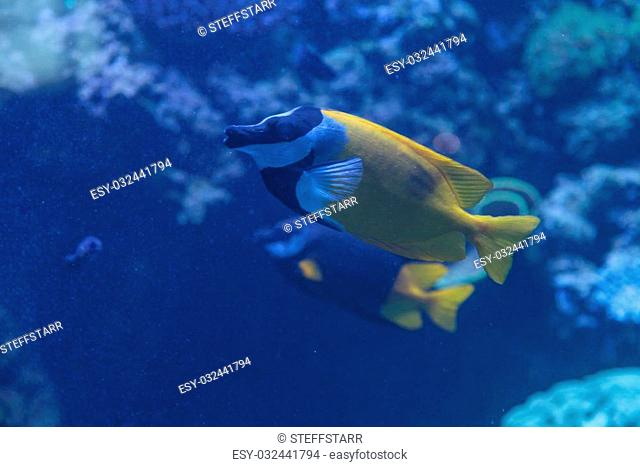 Foxface rabbitfish, Siganus vulpinus, is a yellow fish with black and white bands across its face
