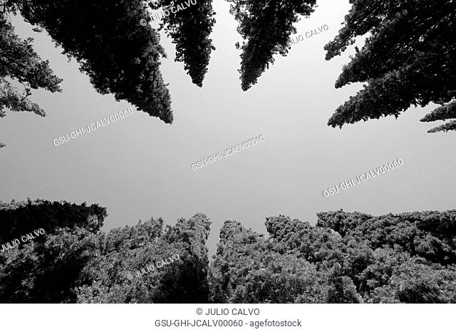 Cypress Trees Against Sky, Low Angle View