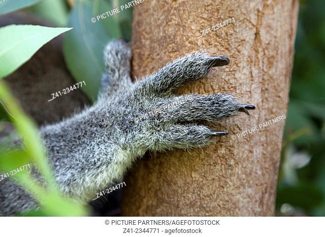 Koala leg holding on to a tree