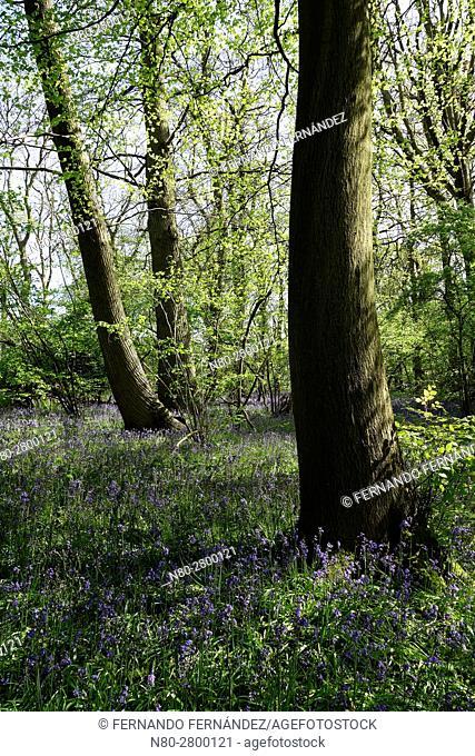 Bluebells. Hatchlands Park. Surrey. England