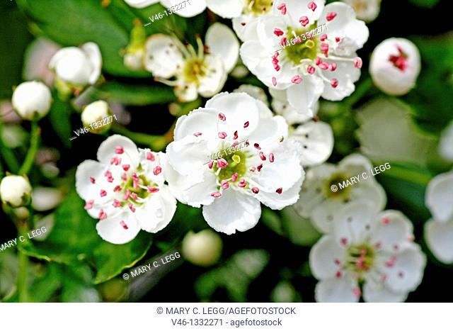 Oneseed Hawthorn, Crataegus monogyn blossoms crowd together  Blossoms of the hawthorn can be used for making wine and honey  Berries of the hawthorn are rich in...