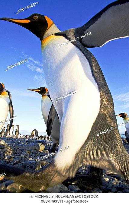 King penguin Aptenodytes patagonicus breeding and nesting colony at Salisbury Plains in the Bay of Isles, South Georgia, Southern Ocean  MORE INFO The king...