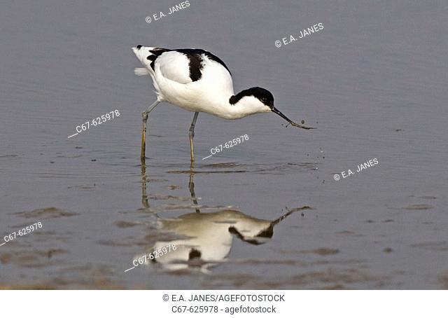 Black-necked Stilt (Himantopus himantopus)