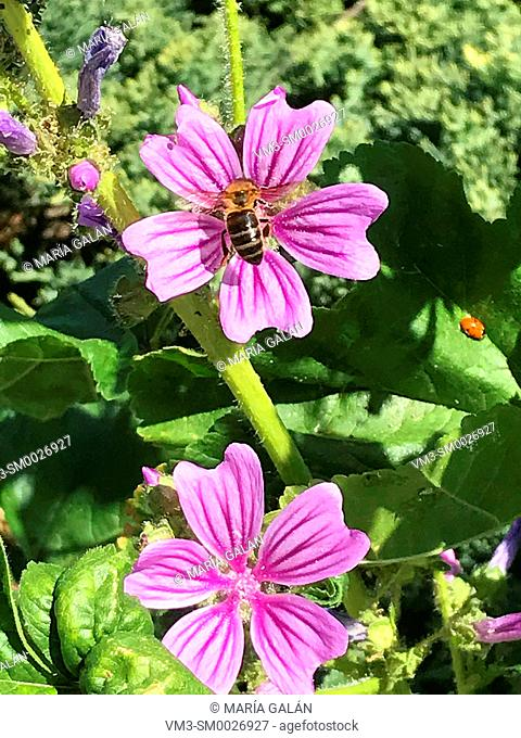 Bee sipping in a mallow flower