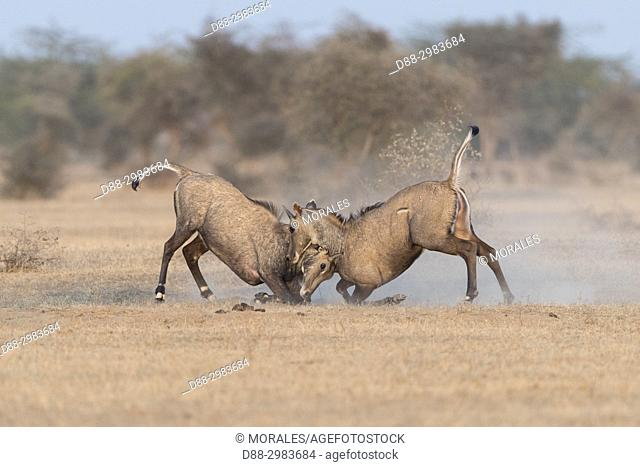 Asia, India, Rajasthan, Bikaner, Nilgai or blue bull (Boselaphus tragocamelus), fight between two youngs males