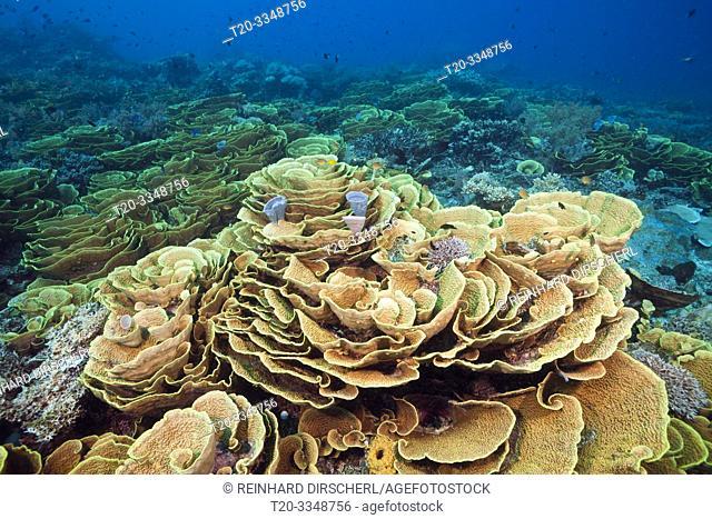 Reef of Lettuce Coral, Turbinaria mesenterina, Tufi, Solomon Sea, Papua New Guinea