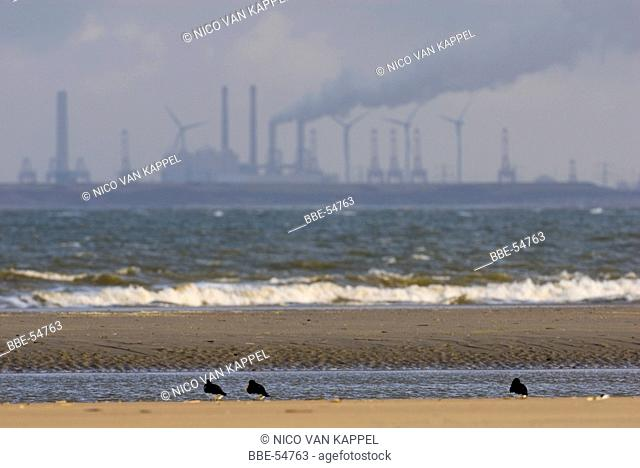 Oystercatchers in front the industry of the maasvlakte