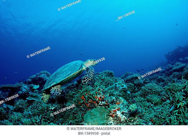 Hawksbill turtle (Eretmochelys imbricata), Palau, Micronesia, Pacific