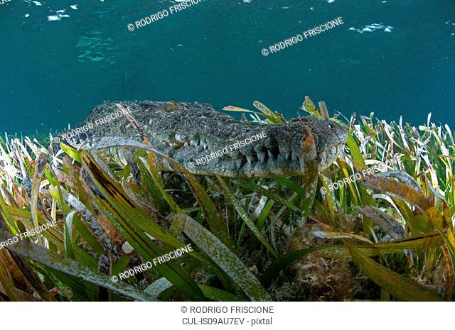 Underwater view of crocodile camouflaged in seagrass, Chinchorro Atoll, Quintana Roo, Mexico