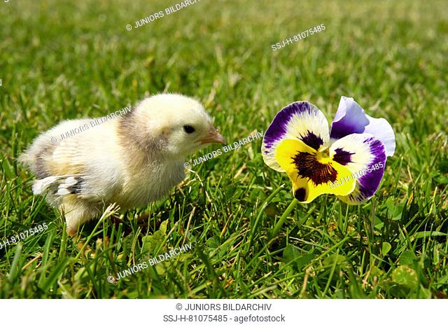 Domestic chicken, Bantam Lakenvelder chicken. Chick standing in grass next to Pansy flower. Germany