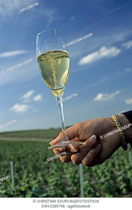 tasting of Champagne Leclerc-Briant in vineyards, Epernay, Marne department, Champagne-Ardenne region, France, Europe