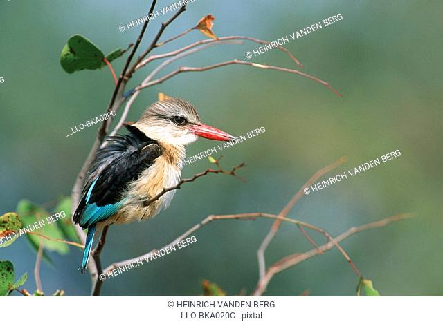 Profile of a Brown-hooded Kingfisher Halcyon albiventris Sitting in a Tree  Kruger National Park, Mpumalanga Province, South Africa