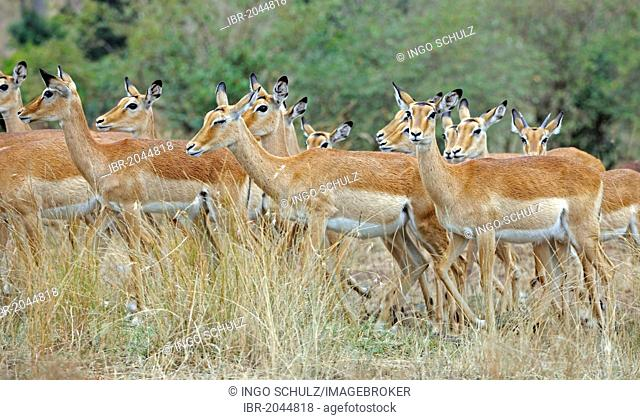 Impala antelopes (Aepyceros melampus), Masai Mara Game Reserve, Kenya, East Africa, Africa