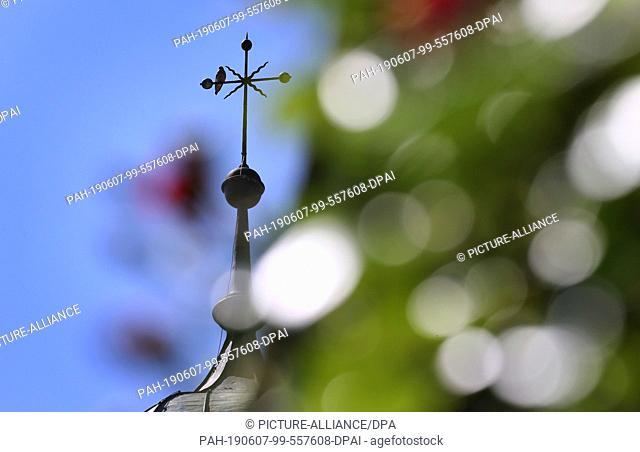07 June 2019, Bavaria, Kaufbeuren: Behind a rose bush, a kestrel sits on the steeple of St. Dionysius Church. Photo: Karl-Josef Hildenbrand/dpa