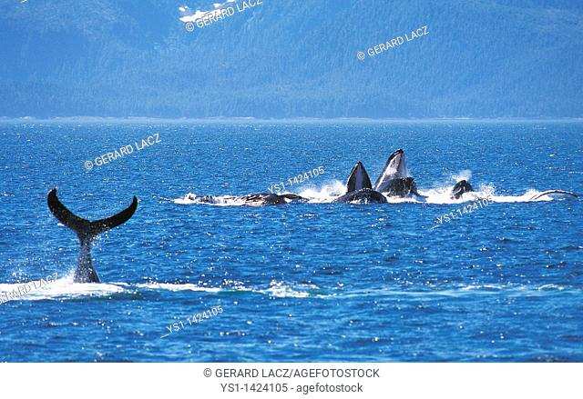 HUMPBACK WHALE megaptera novaeangliae, GROUP DOING A CIRCLE TO CATCH KRILL, ALASKA