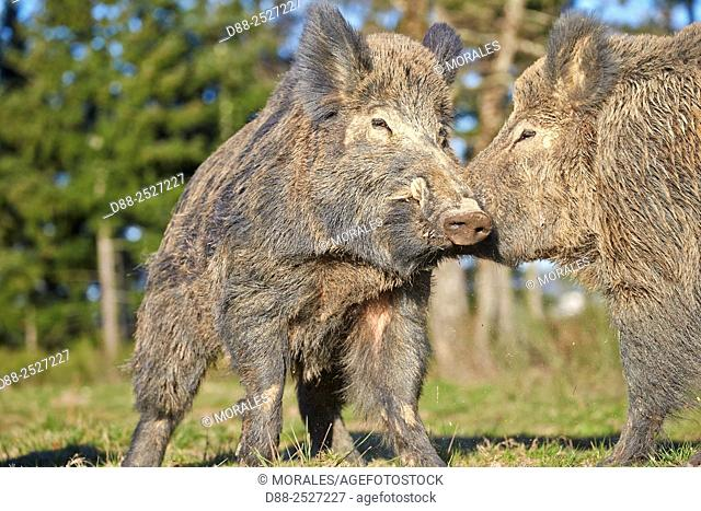 France, Haute Saone, Private park, Wild Boar Sus scrofa, males fighting