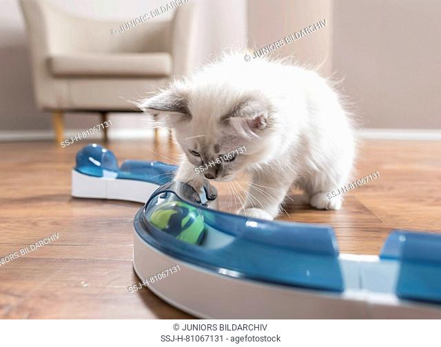 Sacred Birman. Kittens touching a ball in fun game (speed circuit). Germany