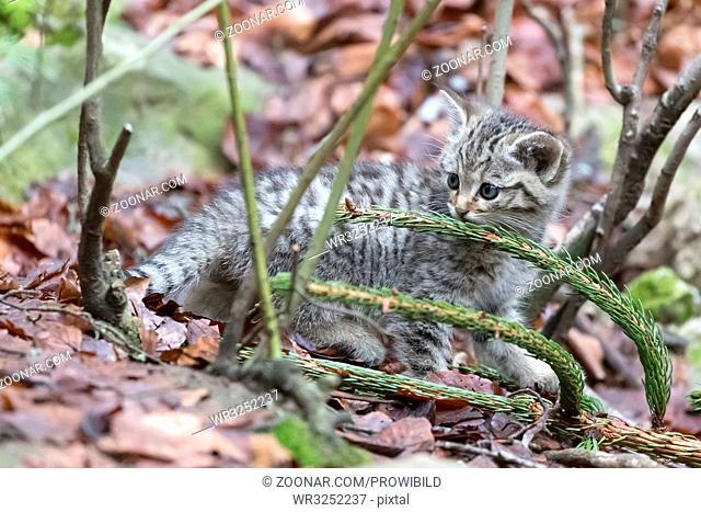 Common Wild Cat, (Felis silvestris), captive, Wildkatze, Junge Katzen, Deutschland, Germany