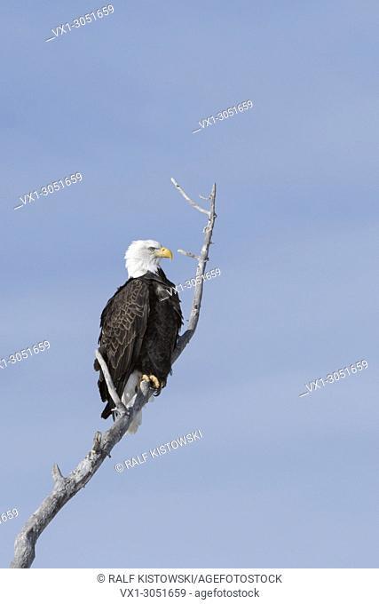 Bald Eagle (Haliaeetus leucocephalus ), perched in a cottonwood tree against blue sky, Yellowstone, Montana, USA.